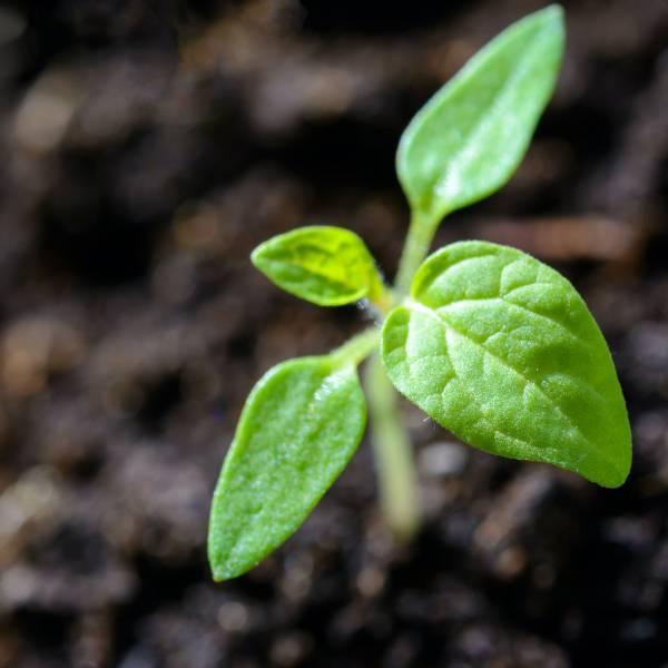 [課程取消] 植物觀察一 手熬油初體驗:單元操作工作坊 人智學,植物,氣味,手熬油,身心,健康