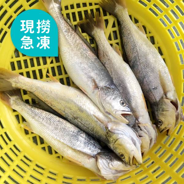 現撈急凍三牙魚