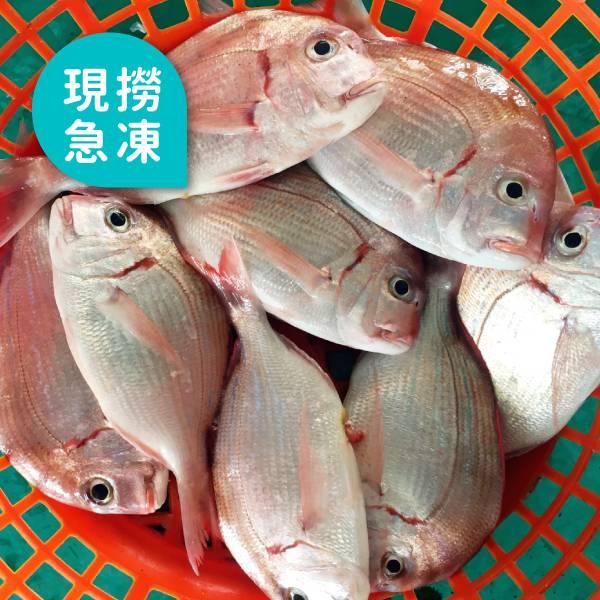 現撈急凍紅盤魚