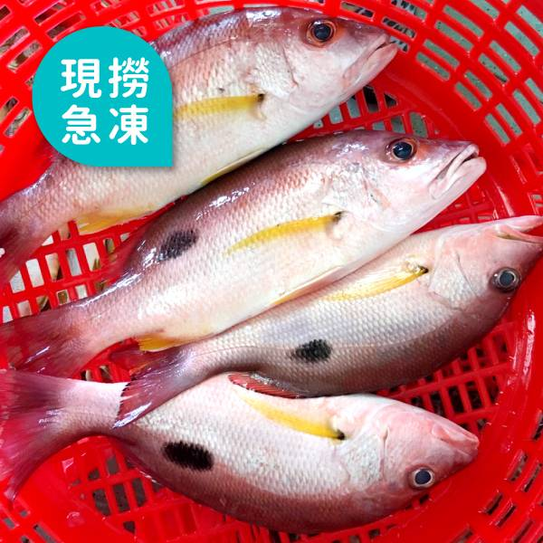 現撈急凍點痣魚