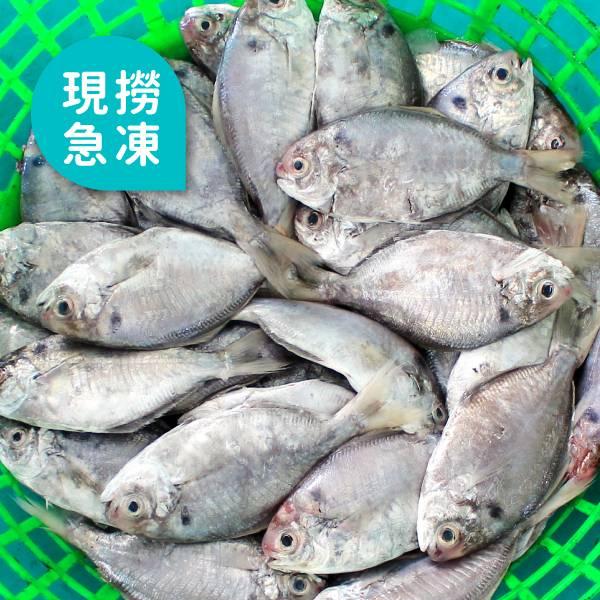 現撈急凍肉鯽魚