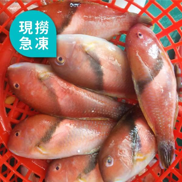 現撈急凍石老魚