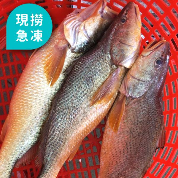 現撈急凍黃三牙魚