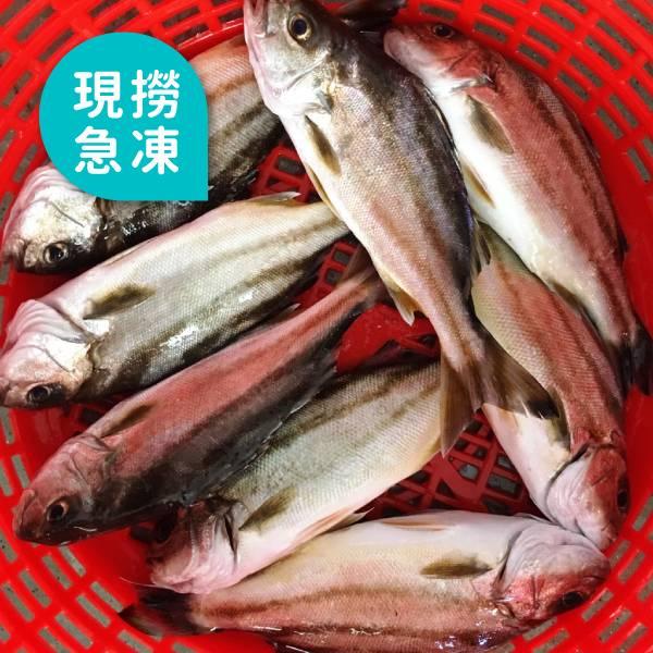 現撈急凍花身魚
