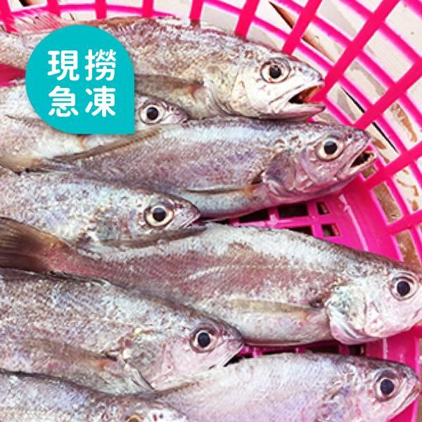 現撈急凍黑喉魚