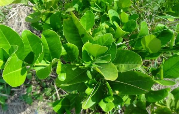 檸檬葉(600g)