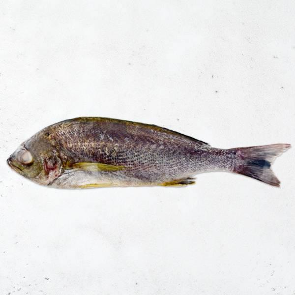黃雞魚 黃雞魚,三線磯鱸,黃雞仔,三爪仔