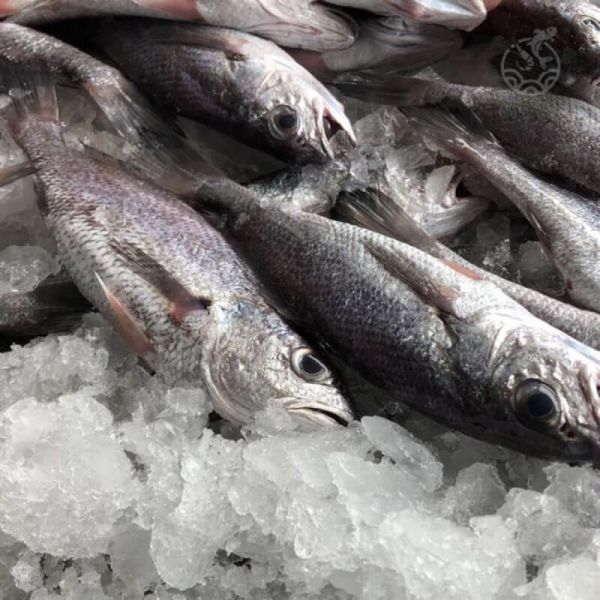 鮮凍野生黑喉 水產,海鮮,鮮凍野生黑喉,黑喉魚,黑姑魚,烏喉,魚肉,魚