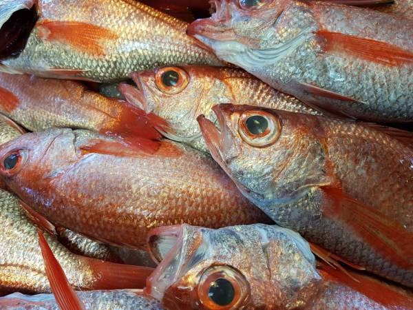 野生紅喉魚 (已去鱗鰓肚重量)