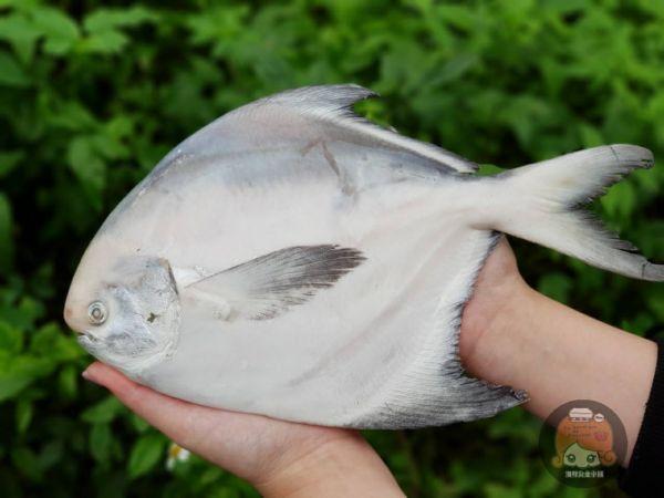野生白鯧每隻500~600g