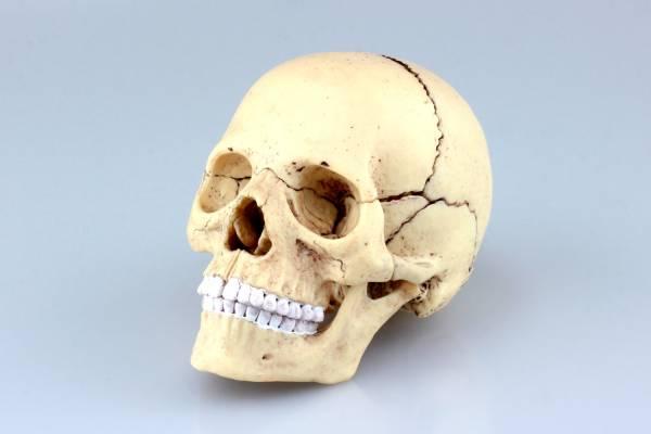 AOSHIMA / 立體拼圖 / 4D VISION / 益智 / 骷髏頭 頭蓋骨解剖模型 AOSHIMA,立體拼圖,4D VISION,益智,骷髏頭,頭蓋骨,解剖模型