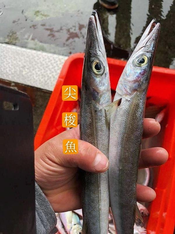 野生尖梭魚-1包 不含運-肉細緻 無暗刺