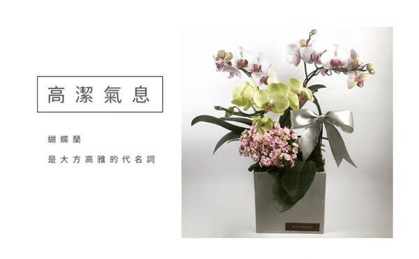 高潔氣息-蘭花盆栽 蝴蝶蘭 特色蘭花盆栽 設計感蘭花