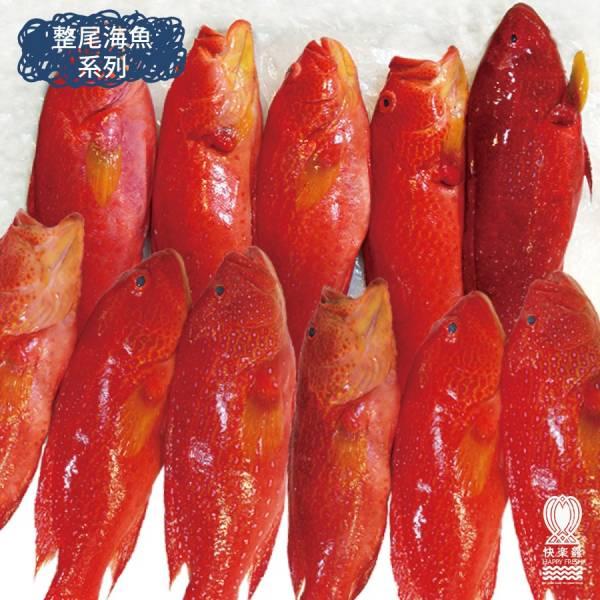 大燕尾紅鰷 400g±10%